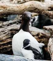 Common Murre with chick