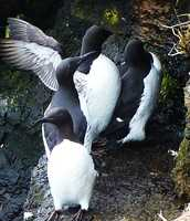 Sometimes Common Murres are mistaken for penguins because of how they sit and their feathers' coloring.
