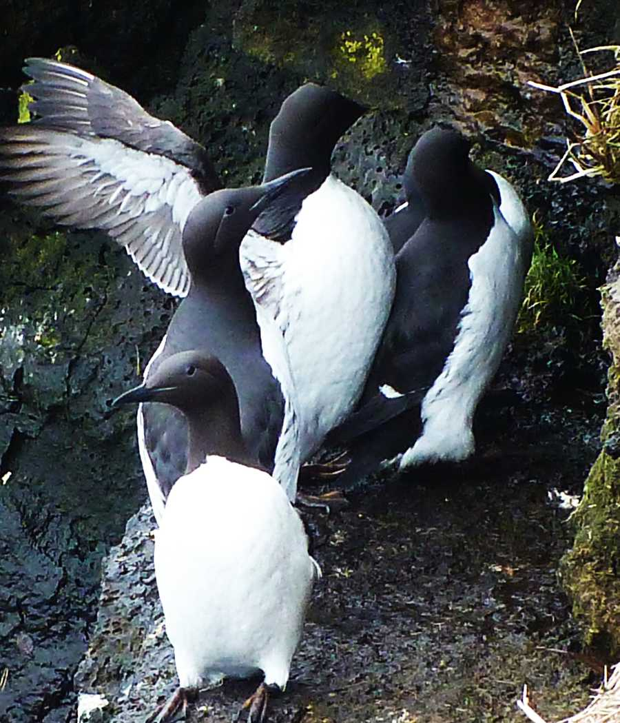 SometimesCommon Murres are mistaken for penguins because of how they sit and their feathers' coloring.