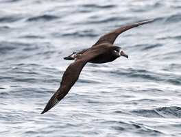 More than 90 species of seabirds have been recorded living or migrating through the Monterey Bay. This week, a black-footed albatross was seen soaring over Monterey.