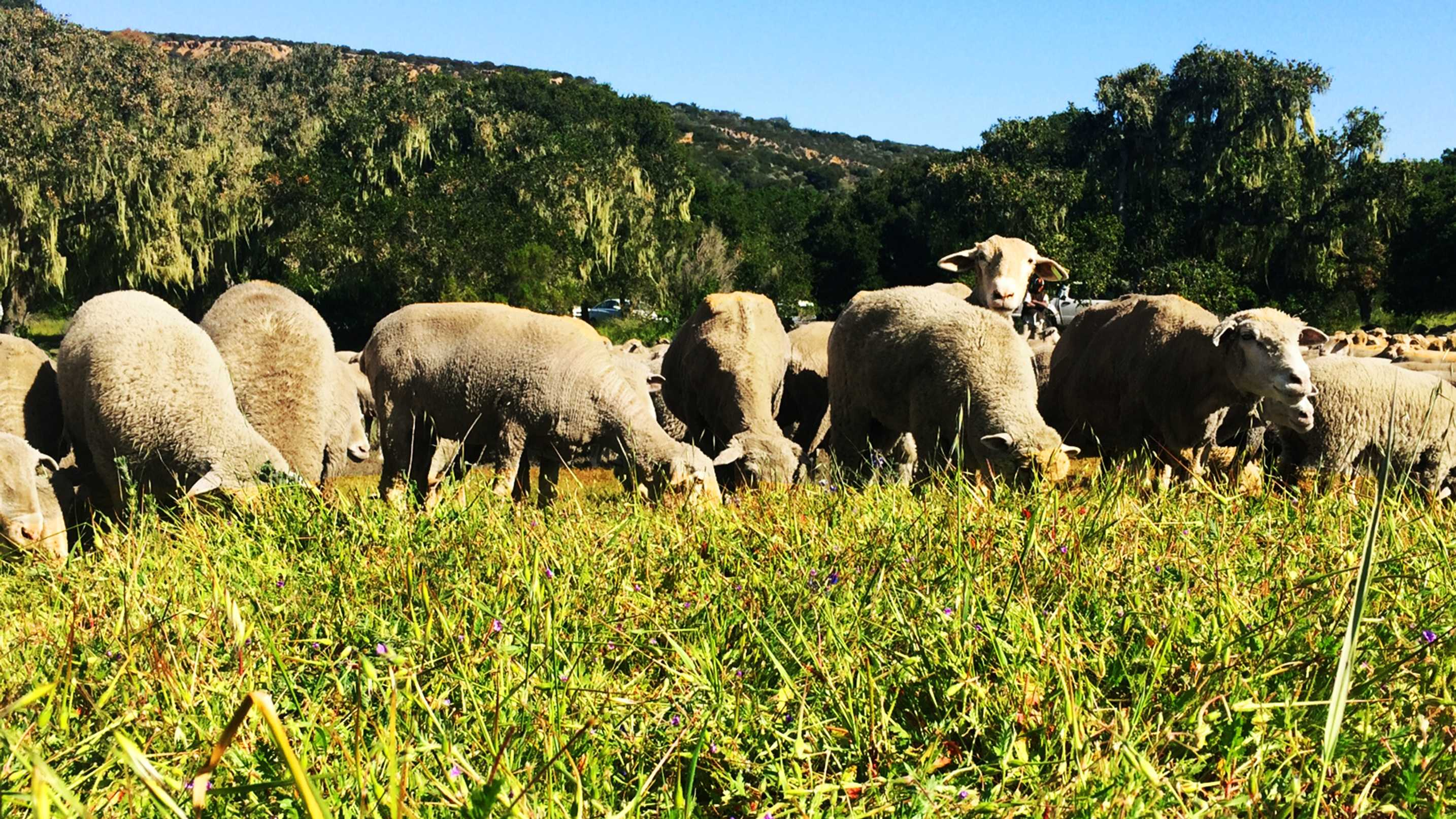 Sheep graze at Fort Ord. (April 4, 2015)