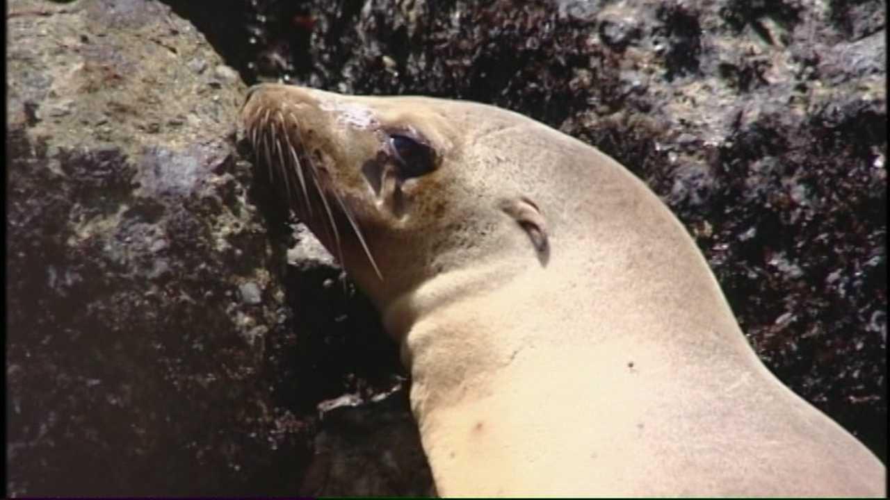 Felix Sea Lion