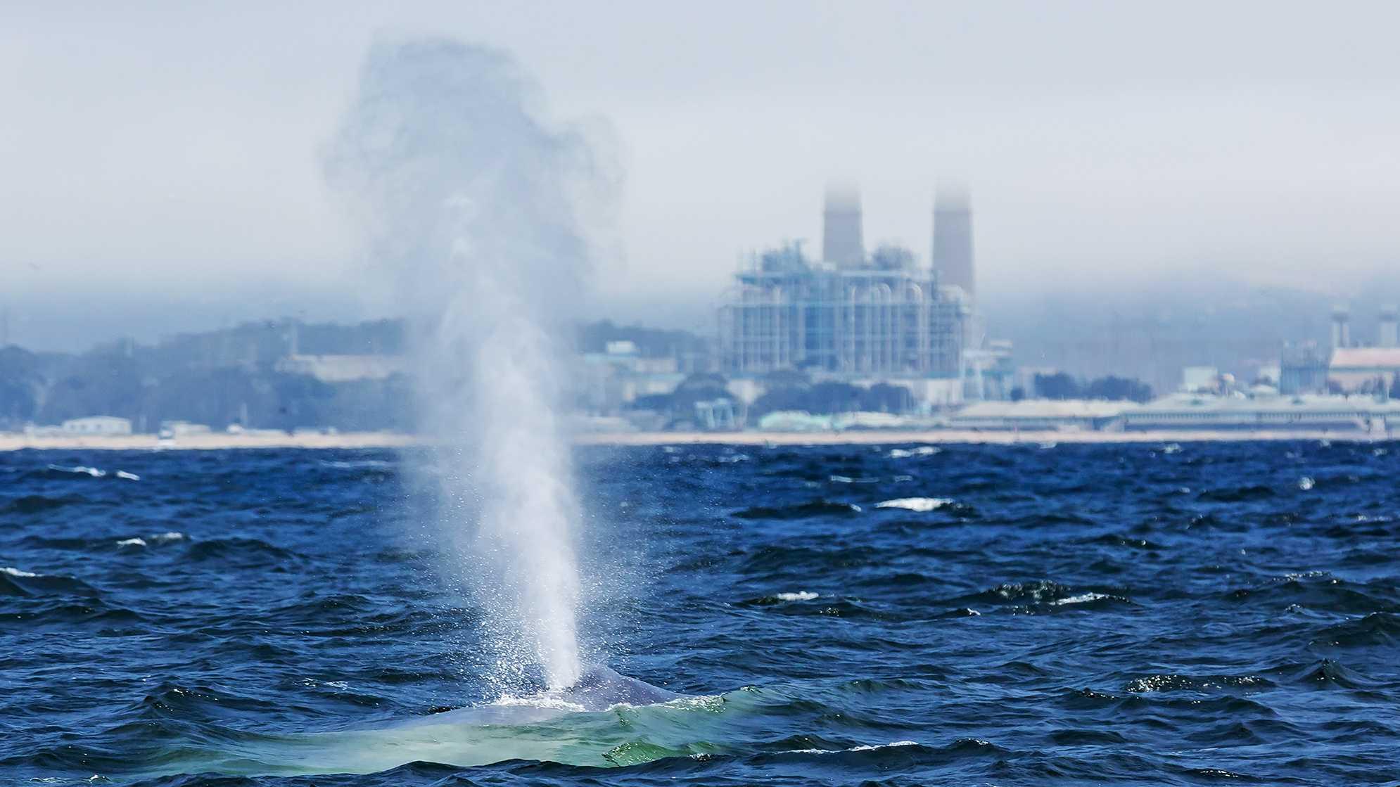A blue whale spouts as it swims past the Moss Landing power plant.
