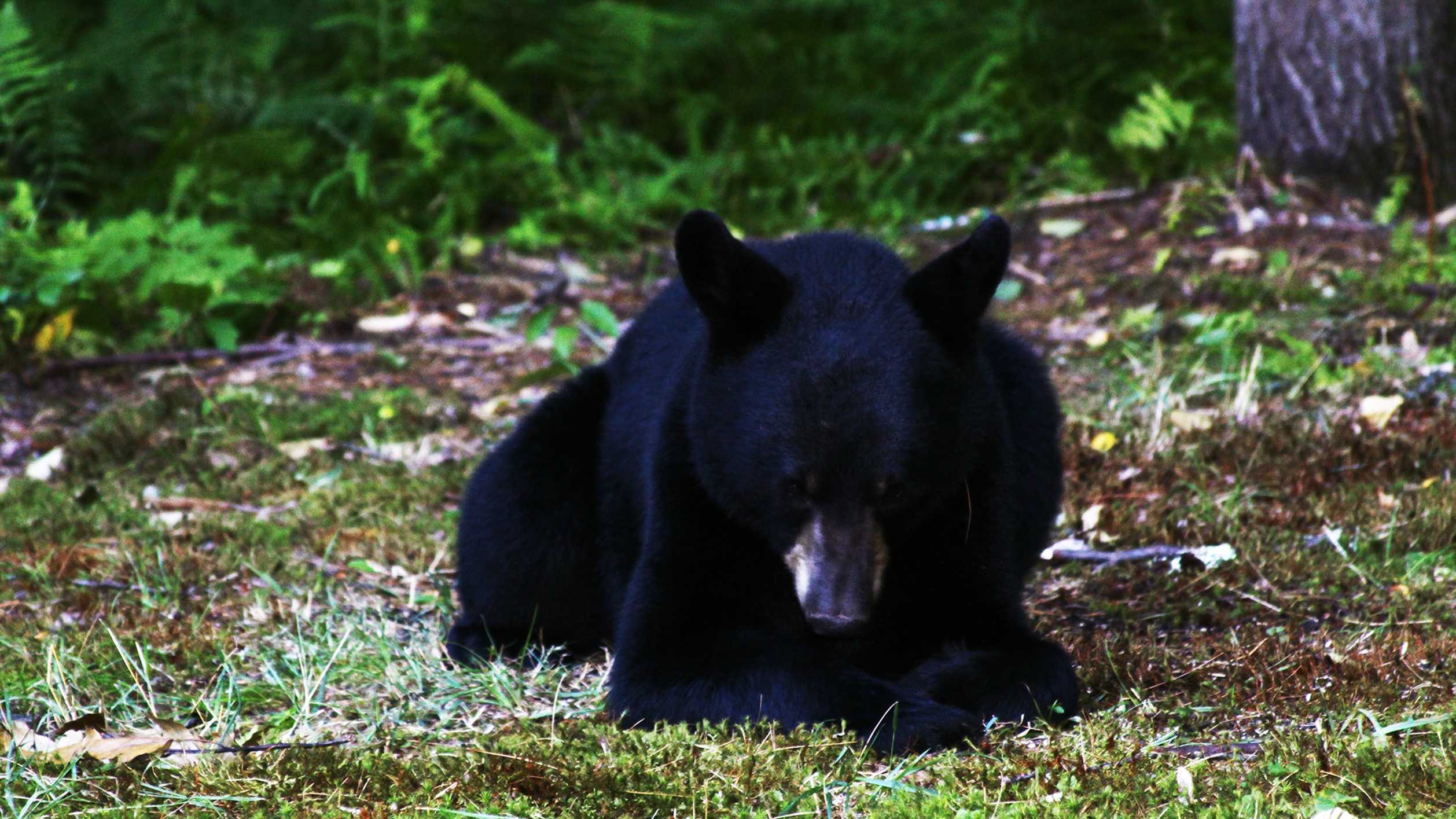 A black bear is seen in Pennsylvanian.