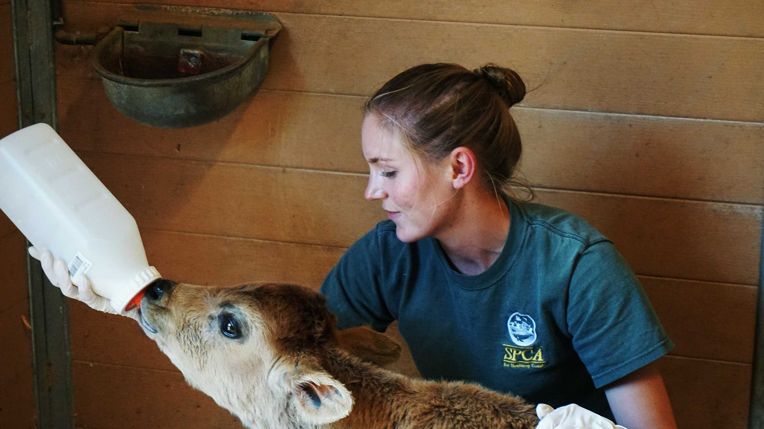 An SPCA for Monterey County worker gives a rescued calf a bottle of milk.