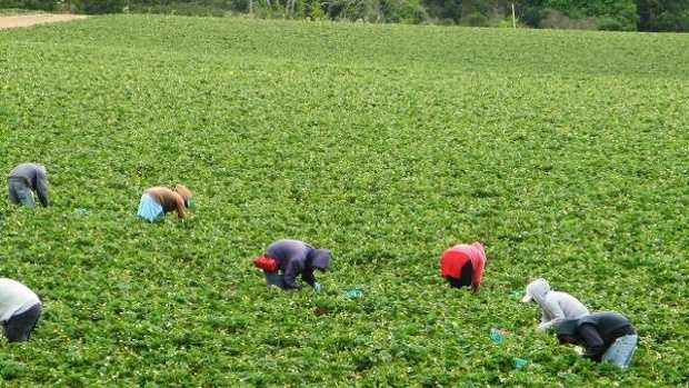 Farm workers pick strawberries.