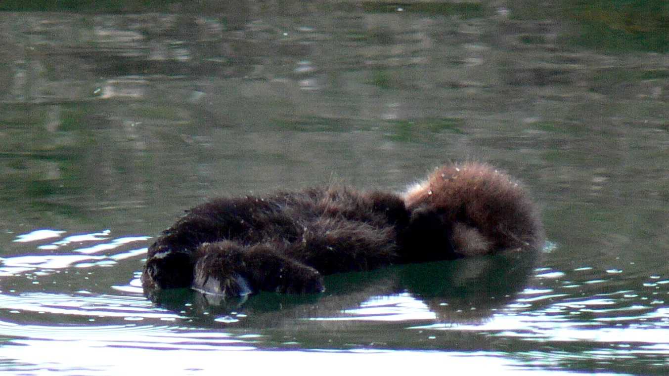 cute sea otter pup