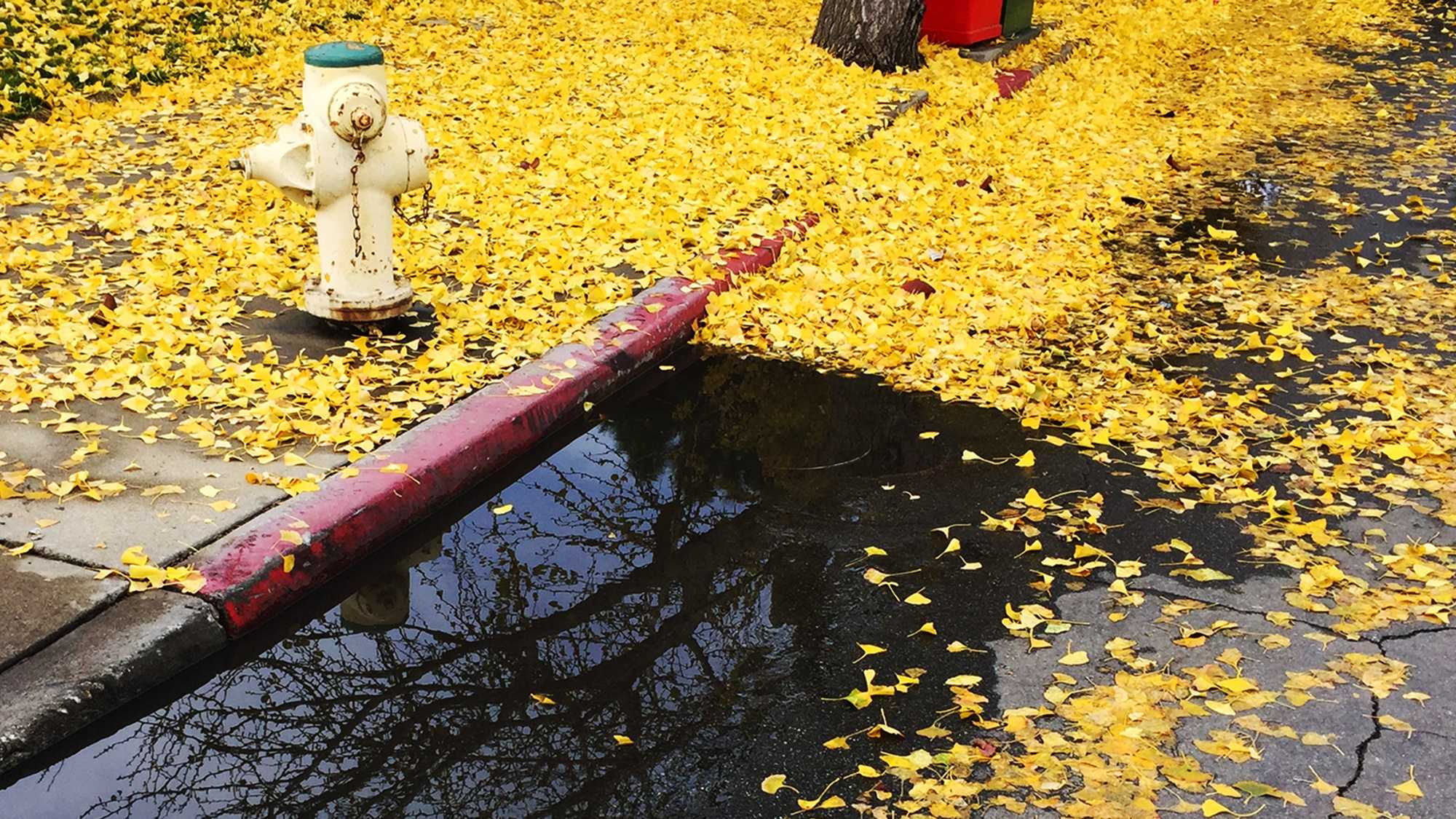 Yellow leaves fall into a puddle in Salinas. (Dec. 10, 2015)