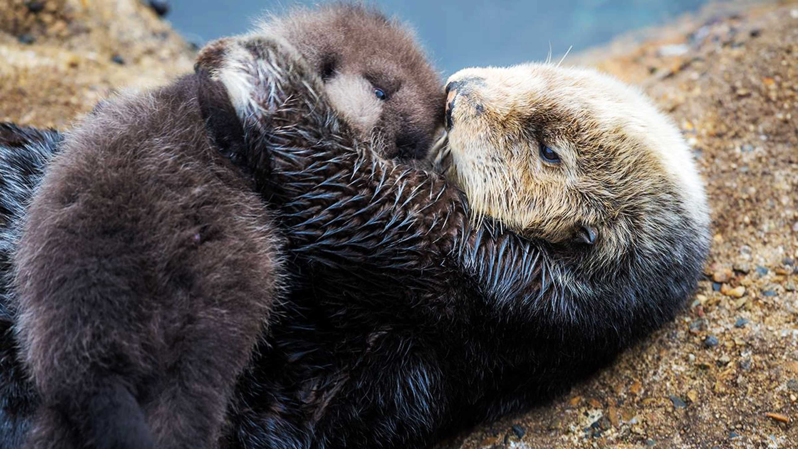 A wild sea otter holds her newborn pup in Monterey on Dec. 20, 2015.