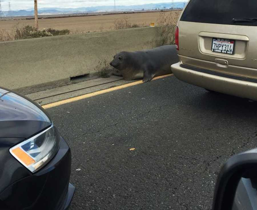 The seal is seen flopping down the highway on Monday.