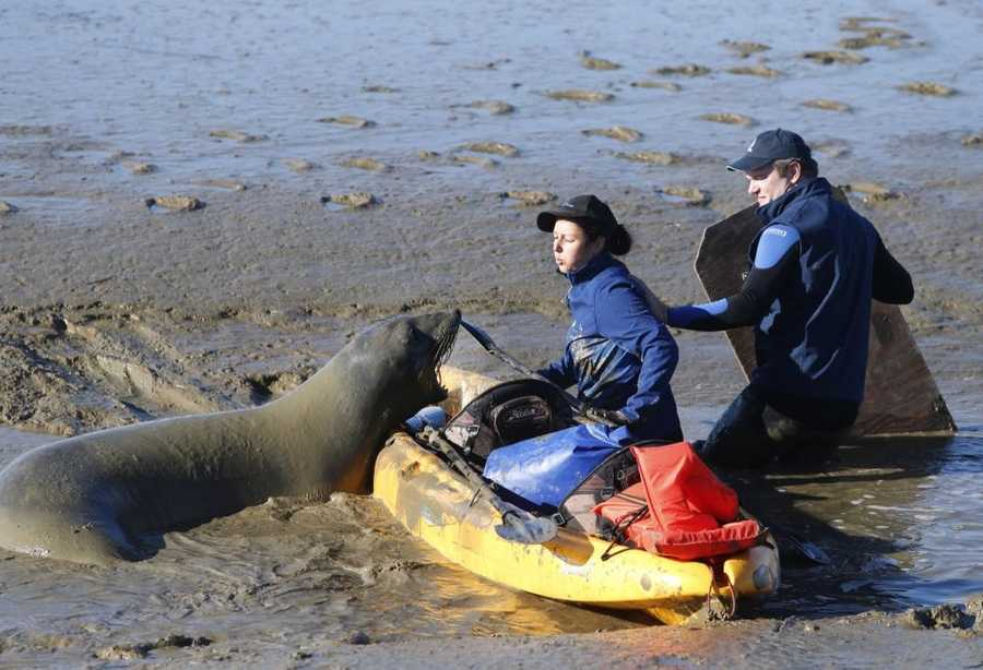 "Up until the moment the seal was tranquilized, officials were unsure if their plan would work. ""She's a 900-pound elephant seal and we're not. She pretty much does what she wants,"" said Barbie Halaska, a research assistant at The Marine Mammal Center."