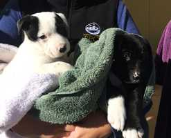 The adorable puppies are 5-week-old pit bull mixes.