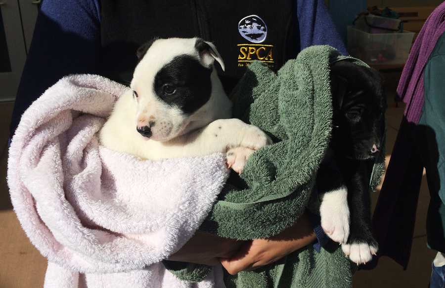 The SPCA is seeking anyone who purchased or took a puppy from this individual in order to warn them that the puppies are very young and that the seller was untruthful, leaving the puppies at risk of contracting or spreading potentially deadly diseases.