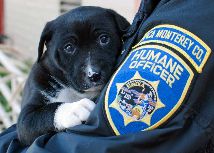 The SPCA for Monterey County is looking for people who purchased underage puppies from a man at The Crossroads Carmel within the past few days.