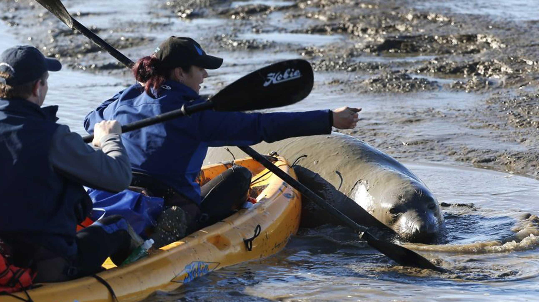 Elephant seal (Dec. 29, 2015)