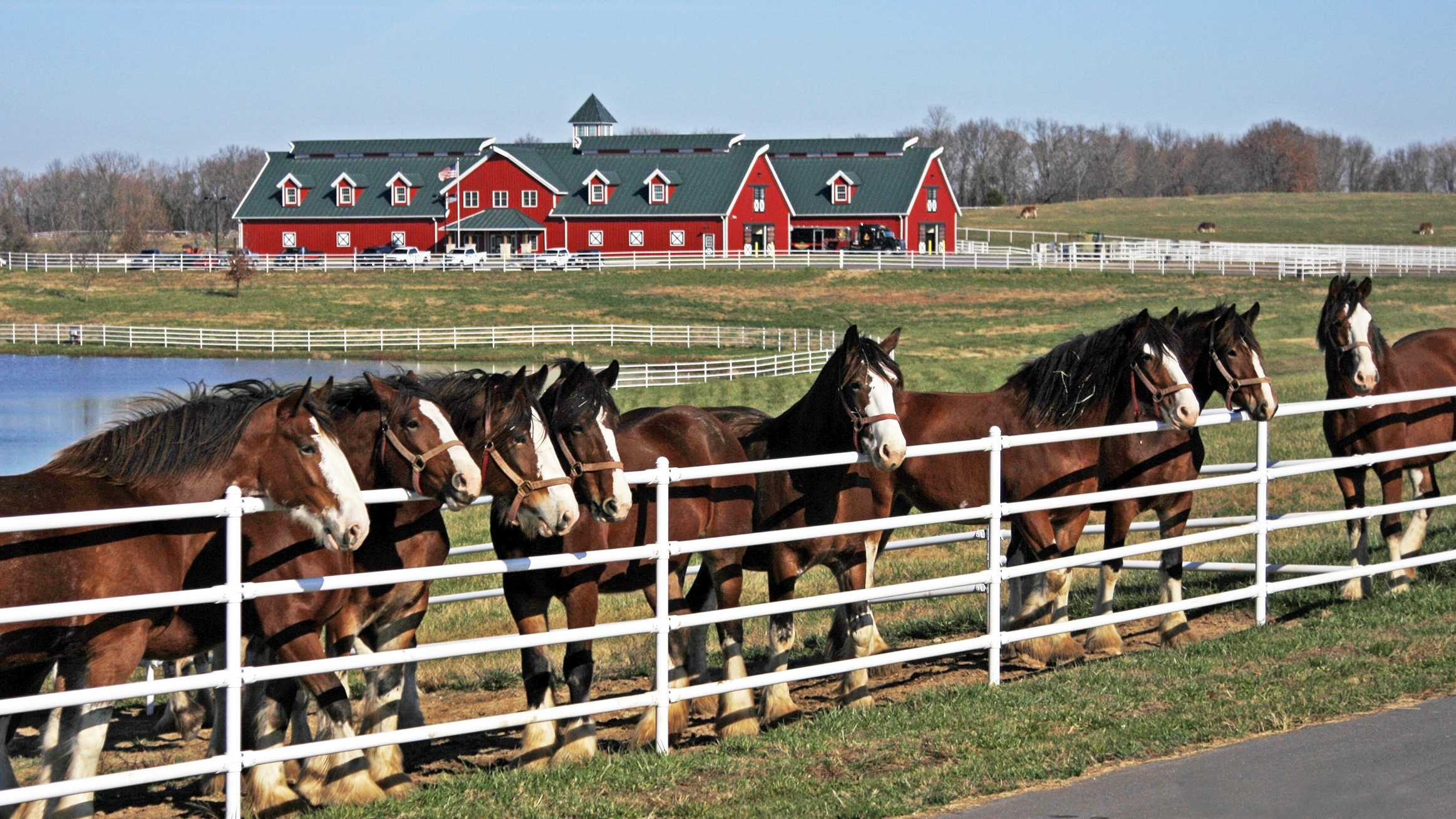 Budweiser's Clydesdale horses