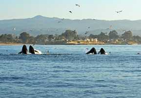 In this October 2011 file photo, happy humpback whales are seen in the Monterey Bay.