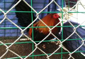 About 70 cockfighting spectators and rooster owners scrambled when authorities showed up at a property on Fuji Lane in Salinas on Sunday.  (Feb. 27, 2012)