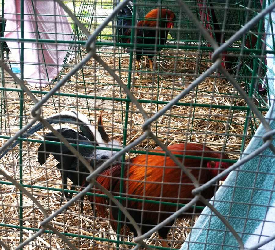 The SPCA said all of the roosters will be euthanized because it is the most humane thing to do. Fighting roosters cannot be adopted or raised on the farm, because they are a danger to humans and other animals. They are bred to fight and kill.