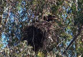 The bald eagle couple's nest is seen at Pinto Lake Park in Watsonville. (Photo by Efren B. Adalem)
