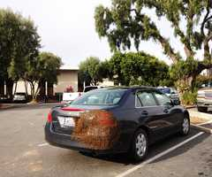 Bee removal expert Jason Bordi said the reason why the swarm made the Honda their temporary hive was likely because a queen bee who landed there, and the swarm followed.