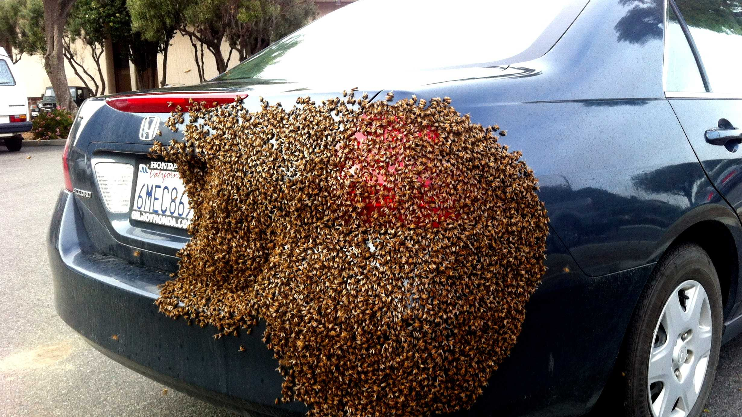 Bees swarmed this car in downtown Salinas on Wednesday.