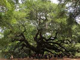 The Angel Oak Tree near Charleston, S.C.