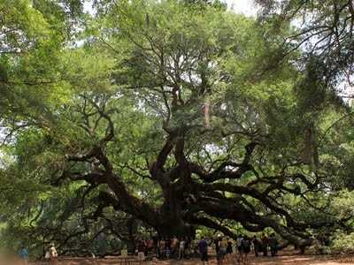 The Angel Oak Tree near Charleston, S.C.