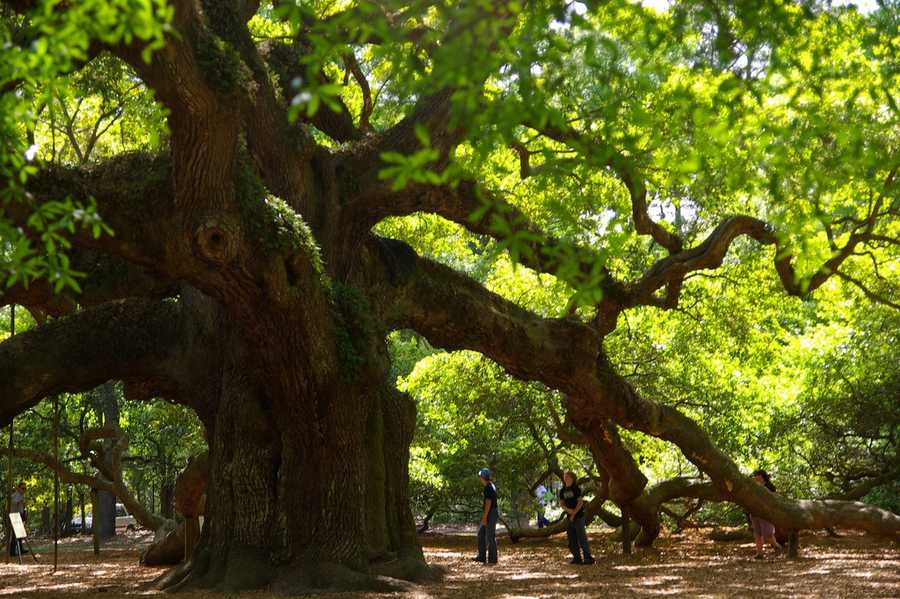 The Angel Oak Tree is a more than 500-year-old tree on Johns Island near Charleston, S.C., and as you can see, is a nature photographer's dream!