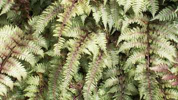 Pteridophobia is the fear of ferns.