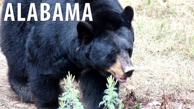 Alabama:Bear wrestling is prohibited in the state and is punishable by a fine. In addition to this, your bear will be confiscated. (Business Insider)