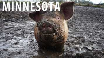 Minnesota:Although trying to catch a greased up or oiled pig might sound like a great game, if you participate  you are involved in an illegal game in the state of Minnesota. (Source: Business Insider)