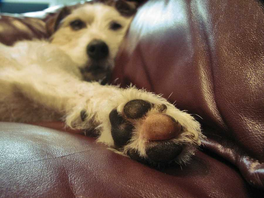"Have you noticed a dog smelling like Fritos? This phenomenon is known as ""Frito Feet"" and is caused by the bacteria on a dog's paw. When dogs cool off by sweating through the pads of their feet, the combination of moisture and bacteria releases a smell similar to Fritos. (Source: barkpost.com)"