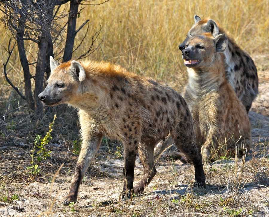 Although they resemble dogs, hyenas are not actually dogs but instead more closely related to cats. (Source: barkpost.com)