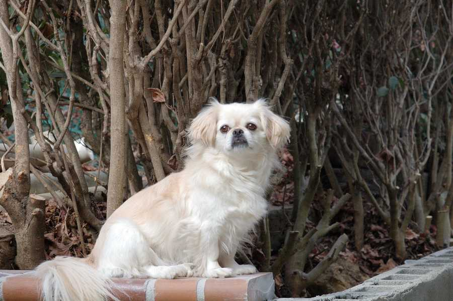 In ancient China, if an emperor was feeling threatened, his last line of defense would be a small Pekingese dog that he would literally keep hidden up his sleeve. (Source: barkpost.com)