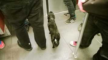 In Russia, some stray dogs have figured out how to use the subway system to travel to the more populated areas of the country when searching for food. (Source: barkpost.com)