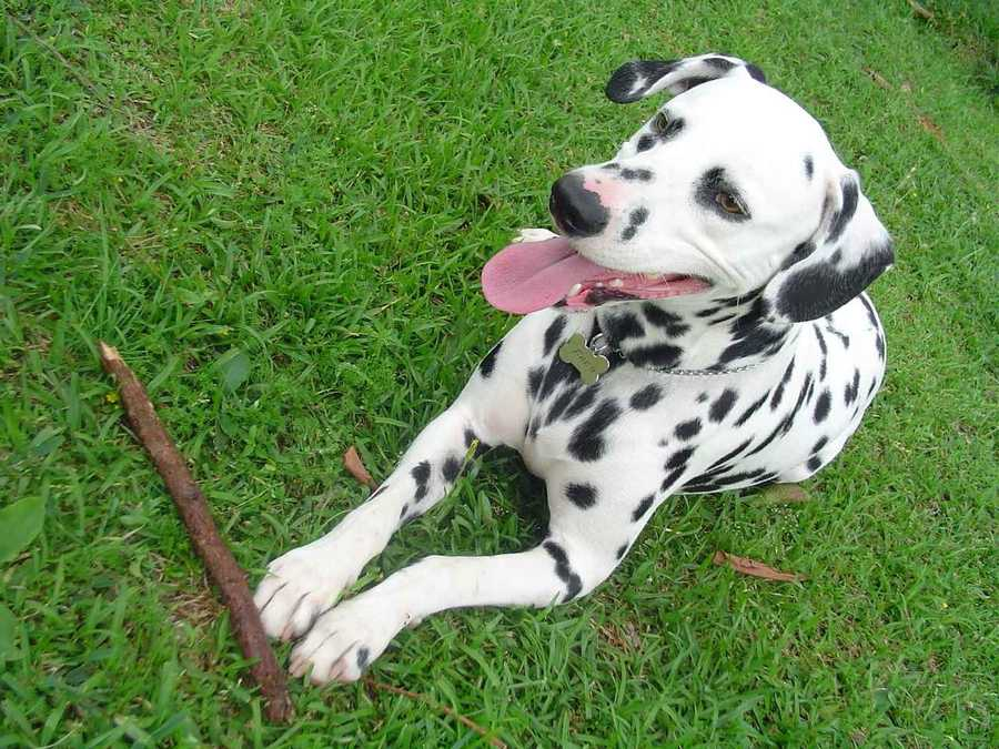 Dalmatian puppies are born pure white and they develop their breeds identifiable spots as they grow older. (Source: petfinder.com)
