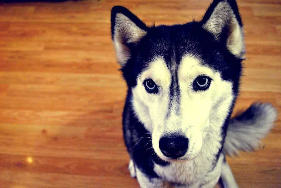Dogs are able to see in the dark due to a special membrane contained in the eye called tapetum lucidum. (Source: petfinder.com)