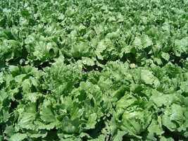 Revive Soggy Lettuce