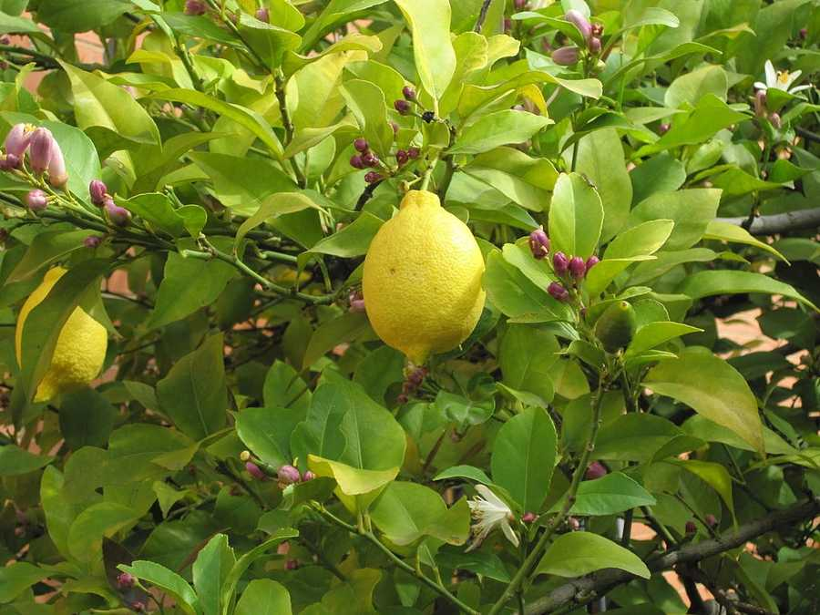 Here are 10 things you may not know you could do with a lemon. The list comes to us from Popular Mechanics.