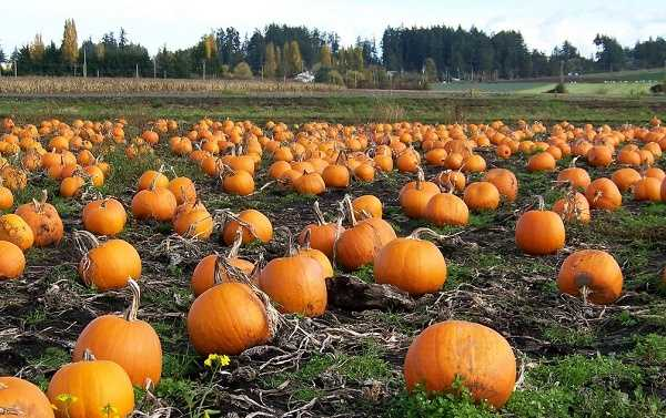 Picking your pumpkin at the pumpkin patch could almost be called an Autumn rite of passage, especially for kids. You might find some that are too big, and some that are too small, but then you find one that is juuuuust right! That brings us to our next Fall favorite...