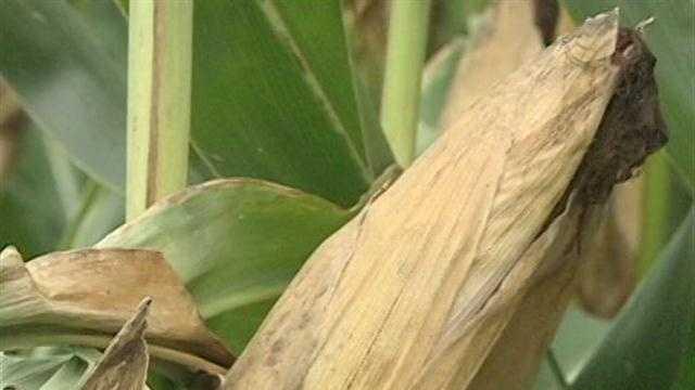 Corn crop farm