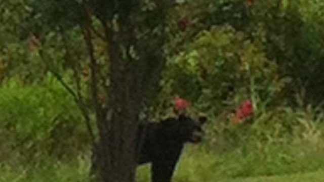 Chris Grafton says he took this picture of a bear near the Kroger in Vicksburg.
