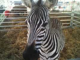 A zebra is one of the animals at the Mississippi State Fair petting zoo.