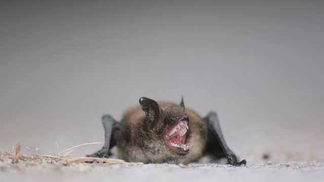 Angry bat