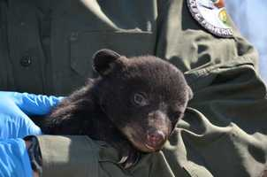 The cubs each weighed about 3 1/2 pounds and were likely born in late January.