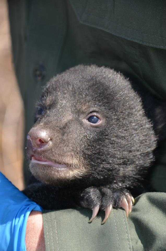 Biologists changed out the mother's collar and put the cubs back in the den with her.