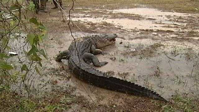 A 400 Lb. alligator was caught in the Mississippi Gulf Coast.