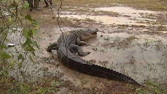 400 Lb. alligator caught in Gulf Coast-img