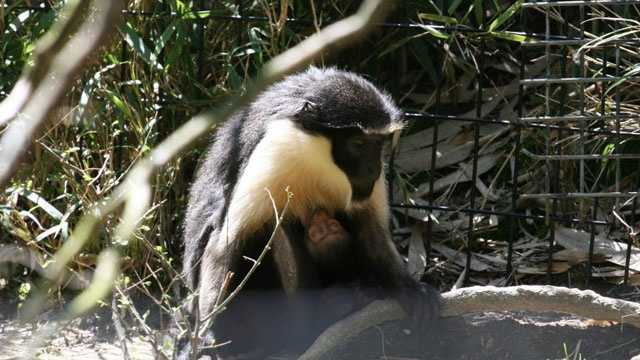 A baby Diana monkey was born at the Jackson Zoo.
